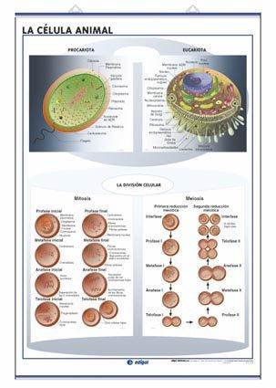 Lamina celula animal/vegetal fotosintesis d/c (70x100)