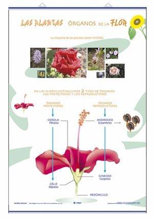 Lamina organos de la flor/reproduccion d/c (70x100)