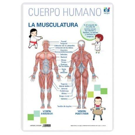 Lamina a3 primaria la musculatura (42x29)