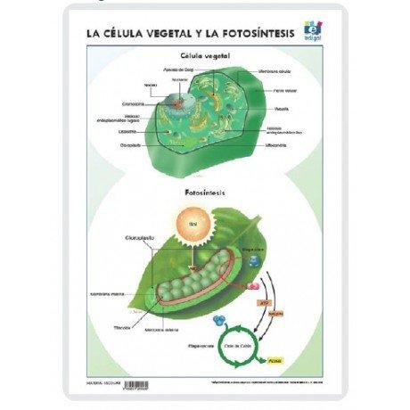 Lamina a3 eso celula vegetal fotosintesis (42x29) cc y eco