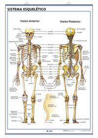 Lamina anatomia sistema esqueletico/craneo d/c 70x100